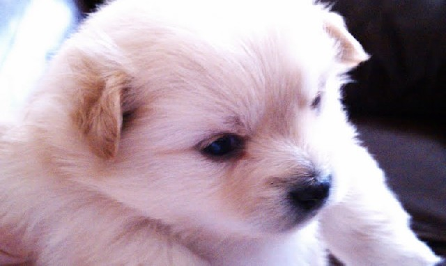 Pomeranian Puppies For Free. Pomeranian puppies for sale