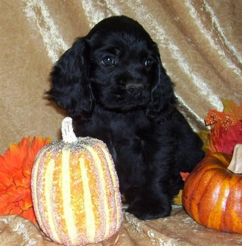 Cocker Spaniel Puppies on Pictures Of Akc American Cocker Spaniel Puppies For Sale   San Diego