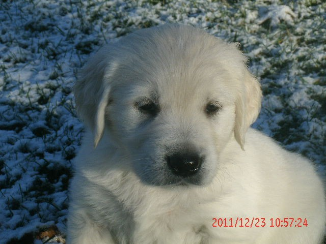 AKC Golden Retriever Puppies, English Cream, Very Light ...