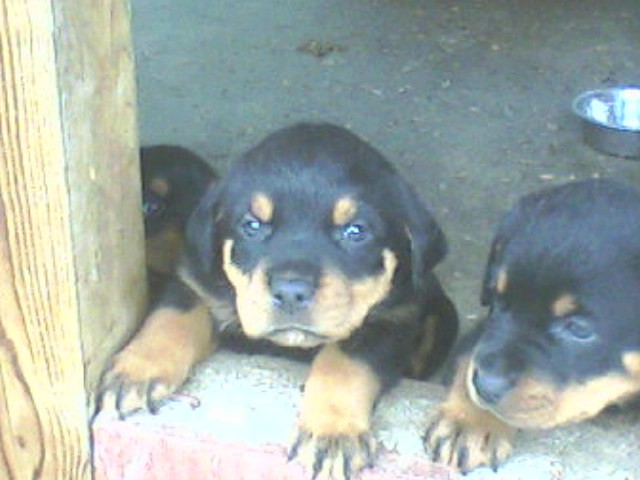 Long Haired Rottweiler Puppies. With over 30 puppies to choose